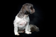 Front View Studio Portrait Of Alert Shih Tzu Dog With Fresh Haircut Sitting On Black Background With Head Turned Away In Profile.