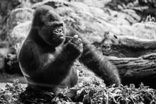 A Sleeping Gorilla In The Loro...