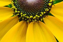 Black-eyed Susan Flower Cone C...