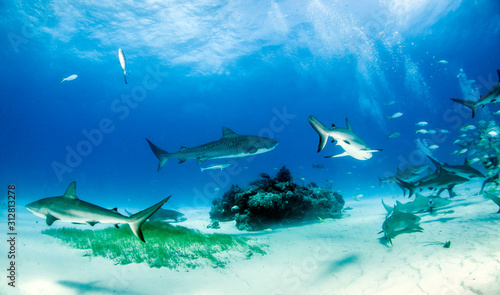 Fotografie, Obraz Tiger shark at Tigerbeach, Bahamas