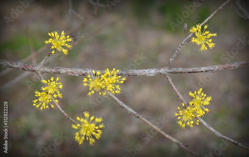 Valokuvatapetti Cornus officinalis is a species of dogwood originated from Korea and China