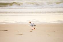 Black-headed Gull At Beach, Wa...