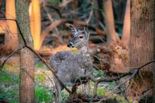 Woodland Deer Front Facing