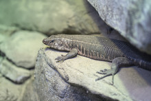 Giant Plated Lizard Is Sunning...