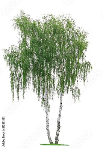 Obraz na plátně birch tree (Betula pendula) isolated on a white background
