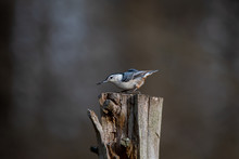 White-breasted Nuthatch On A S...