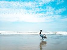 Wild Pelican On The Beaches Of Pimentel Lambayeque Peru