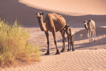 Mother And Baby Camel In Sahara Desert, Beautiful Wildlife Near Oasis. Camels Walking In The Morocco. Brown Female Trampler With White Cub. One-humped Camels. Picturesque Sunny Day With Blue Sky