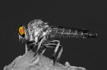 Macro Photo Of Robber Fly On W...