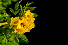 Bush Of Yellow Elder, Trumpetbush Or Trumpet Flower On The Branch Isolated On Black