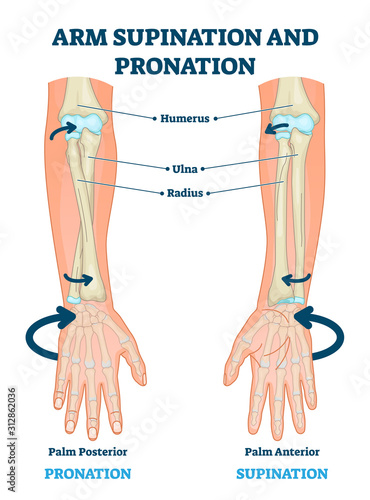 Canvas Arm supination and pronation vector illustration