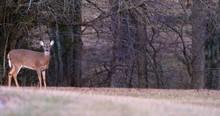 Deer Family Moves Through Scene