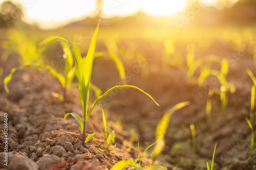 Obraz Field of young corn tree. Row of land with deep soil to release water to corn field - fototapety do salonu