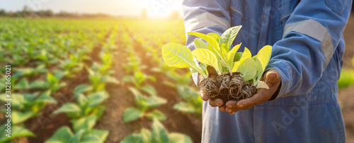 Fototapeta Thai agriculturist planting the young of green tobacco in the field at northern of Thailand obraz