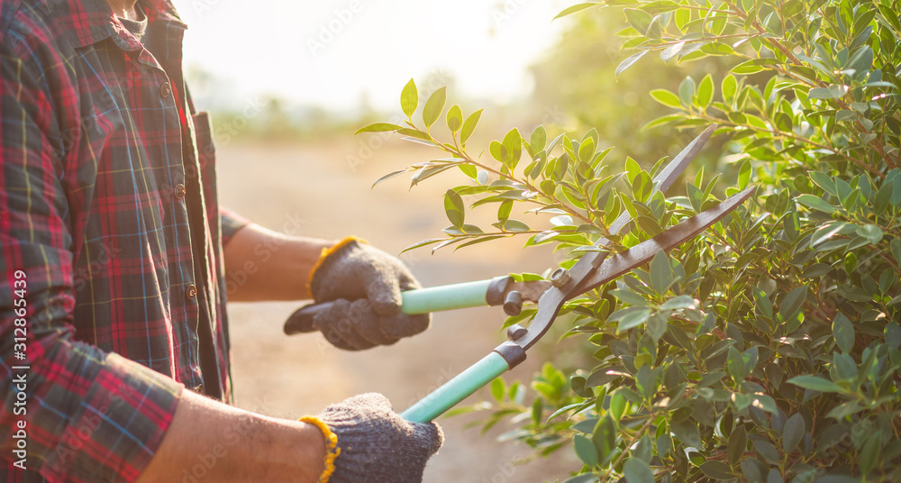 Fototapeta People cutting a hedge in the garden. Home and garden decoration concept