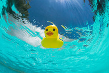 Floating Rubber Duck In The Sw...