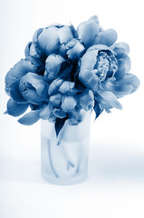 Beautiful peony isolated on white, studio shooting. In trendy classic blue colors