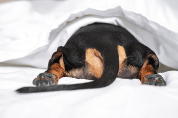 Black and tan dog butt and tail sticking out from under the white blanket on the bed. Home or dog-friendly hotel, spoiled pet, funny picture. scared dog hiding under the blanket