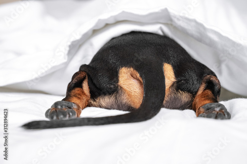 Obraz Black and tan dog butt and tail sticking out from under the white blanket on the bed. Home or dog-friendly hotel, spoiled pet, funny picture. scared dog hiding under the blanket - fototapety do salonu