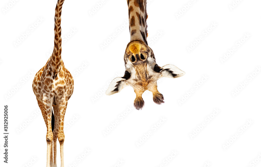 Fototapeta Giraffe with long head look upside down on white
