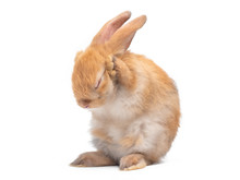 Red-brown Cute Baby Rabbit Sta...