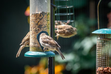 House Sparrows Eating At Bird ...