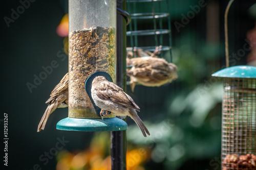 Valokuva House sparrows eating at bird feeder in backyard garden