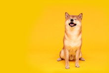 Happy Shiba Inu Dog On Yellow. Red-haired Japanese Dog Smile Portrait