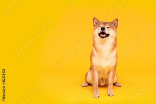 Photographie Happy shiba inu dog on yellow