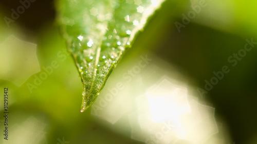 Fototapeta water drops on green leaf obraz na płótnie