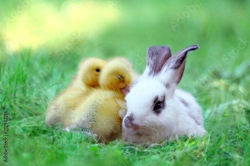 Fotografering 草地でアヒルの雛達と一緒の子ウサギ。自然,小動物,仲良し,癒し,リラックス,イメージ