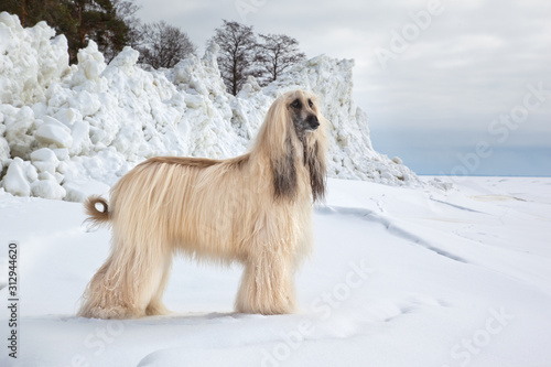 Dog breed  Afghan Hound standing near ice hummocks on the coast Baltic sea Canvas Print