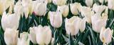 Fototapeta Tulipany - White tulips flower