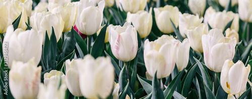 Fototapeta White tulips flower obraz