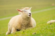 Happy Isolated Dike Sheep Lyin...
