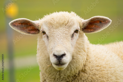 Stampa su Tela Dike sheep close up portrait