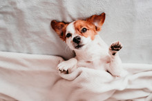 Cute Small Jack Russell Dog Resting Upside Down On Bed On A Sunny Day