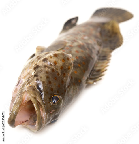 Valokuva Grouper on white
