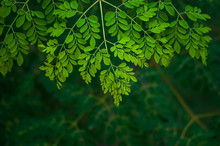 Moringa Tree Leaf Background