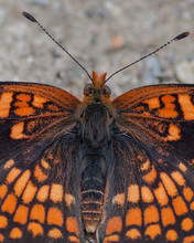 Butterflies Of The Montana And The Northern Hemisphere