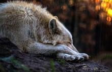 Schlafender Wolf In Der Dämme...