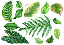 Set Of Tropical Leaves On An I...