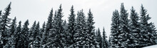 Scenic View Of Pine Forest With Tall Trees Covered With Snow On Hill, Panoramic Shot