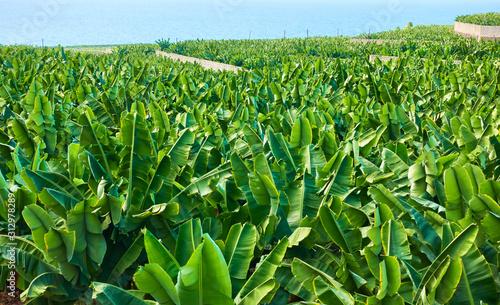 Fotografía Banana plantation in Tenerife