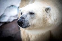 Polar Bear In The Zoo