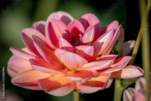 Fotografie, Tablou Detailed  close up of a  pink Leonard dahlia flower