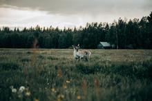 Deer Standing On Meadow