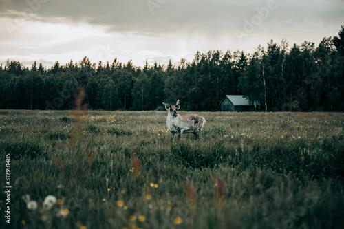 Deer standing on meadow - 312981485