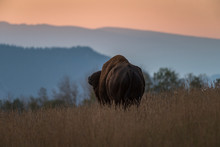 Bull Bison Grazes Across A Mou...