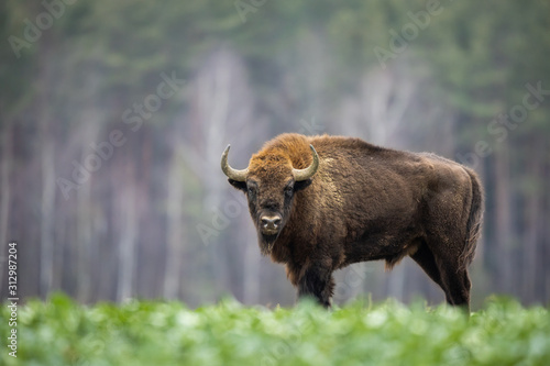 Stampa su Tela European bison - Bison bonasus in the Knyszyn Forest (Poland)